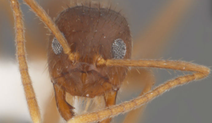 Extreme close up of head of tawny crazy ant